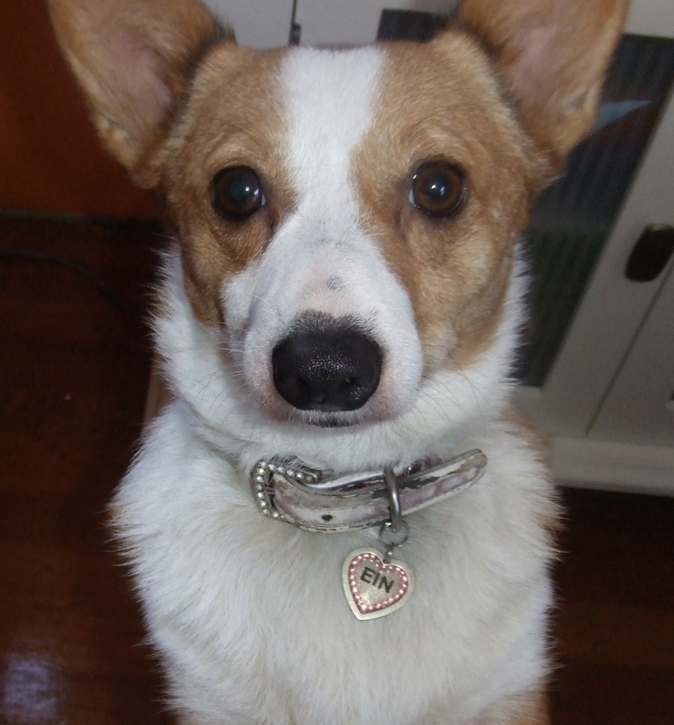 picture of Corgi dog looking directly into camera