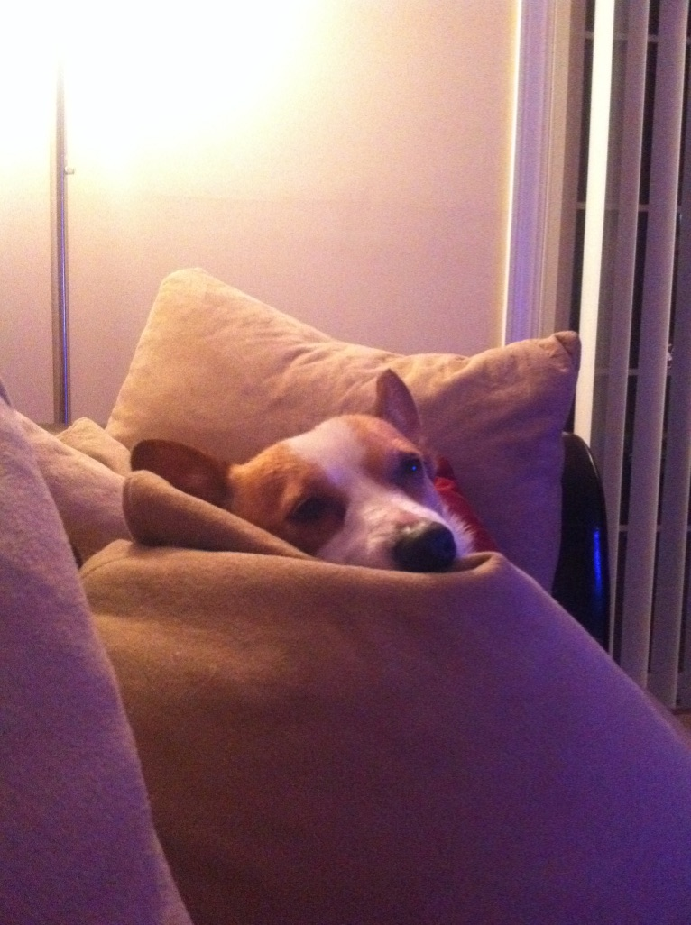 Corgi dog resting in pillows with only its face visible