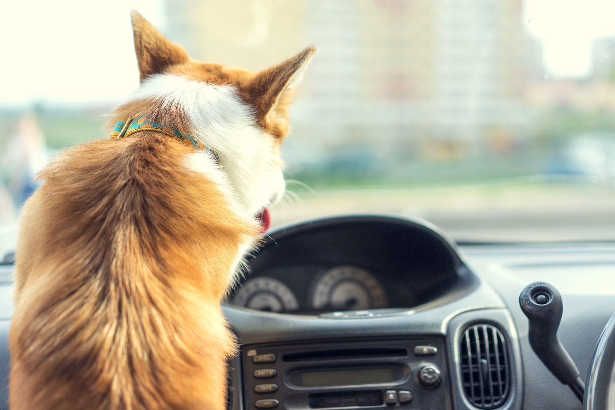 Corgi driving a car.